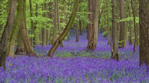 Kind neighbours open their gate so we can all enjoy the Bluebells!