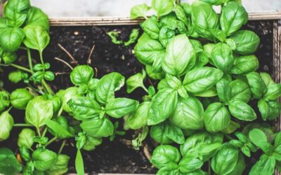 Basil one of our favourite herbs