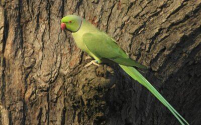 Sarratt Parakeets….
