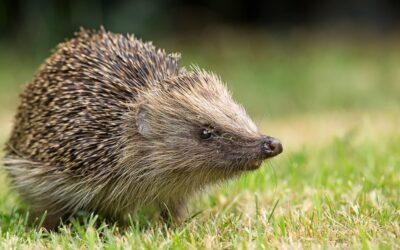 Hedgehog Awareness Week